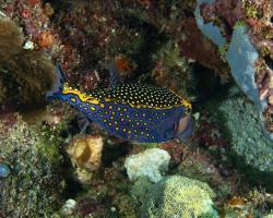 havýš perličkový (samec) - Ostracion meleagris (male) - spotted boxfish (male)