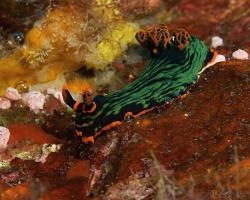 nahožábrý plž - Nembrotha kubaryana - nudibranch