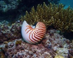 Loděnka hlubinná (schránka) - Nautilus pompilius - Nautilus shell
