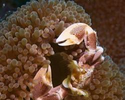 krabovčík sasankový - Neopetrolisthes maculatus - Spotted Anemone Porcelain Crab