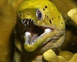 muréna třepenitá - Gymnothorax fimbriatus - fimbriated moray