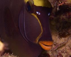 bodlok bezrohý - Naso lituratus - Orangespine Unicornfish