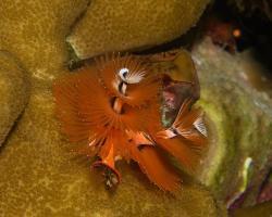 rournatec ozdobný - Spirobranchus giganteus - Christmas Tree Worm