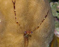 kreveta - Cuapetes lacertae - Spotted-arm cuapetes shrimp