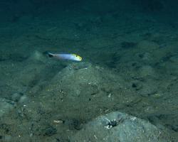 štíhlice žlutoskvrnná - Hoplolatilus fourmanoiri - fourmanoir´s tilefish