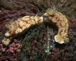 nahožábrý plž - Hypselodoris tryoni - nudibranch