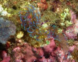 nahožábrý plž - Pteraeolidia semperi - Blue Dragon
