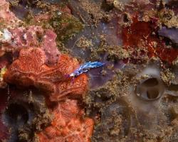 nahožábrý plž (mládě) - Pteraeolidia semperi - Blue Dragon