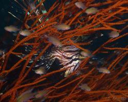 perutýn ohnivý - Pterois volitans - red lionfish