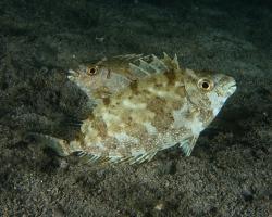 králíčkovec tmavý - Siganus fuscescens - pearlspotted rabbitfish
