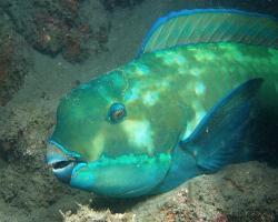 ploskozubec malonosý - Chlorurus microrhinos - steephead parrotfish