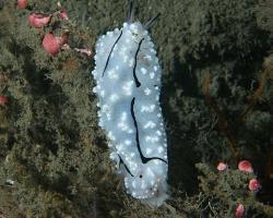 nahožábrý plž - Phyllidiopsis pipeki - nudibranch