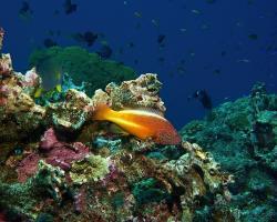 štětičkovec Forsterův - Paracirrhites forsteri - black-sided hawkfish