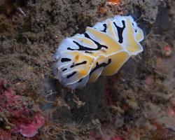 nahožábrý plž - Reticulidia fungia - nudibranch