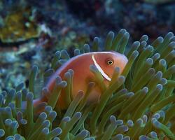 klaun obojkový - amphiprion perideraion - pink anemonefish