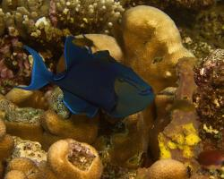 ostenec černý - Odonus niger - red-toothed triggerfish