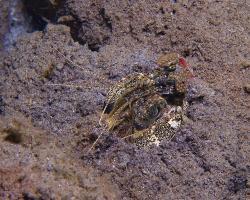 strašek - Lysiosquilla tredecimdentata - mantis shrimp
