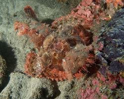 ropušnice ostrohlavá - Scorpaenopsis oxycephala - tasseled scorpionfish