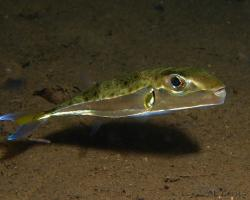 čtverzubec stříbropásý - Lagocephalus sceleratus - Silver-cheeked toadfish
