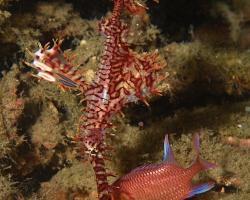 vějířník třásnitý - Solenostomus paradoxus - ornate ghost pipefish or harlequin ghost pipefish