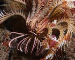 krab - Allogalathea elegans - Elegant Squat Lobster