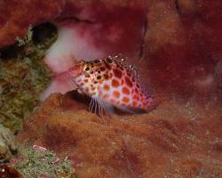 štětičkovec špičatohlavý - Cirrhitichthys oxycephalus - coral hawkfish