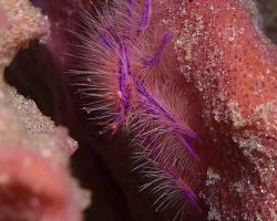 polokrab - Lauriea siagiani - Pink Squat Lobster