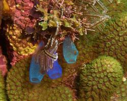 sumka - Rhopalaea crassa - Blue Club Tunicate