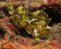 houpavec ropušnicovitý - Taenianotus triacanthus - leaf scorpionfish or paperfish