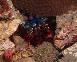 strašek pavý - Odontodactylus scyllarus - mantis shrimp