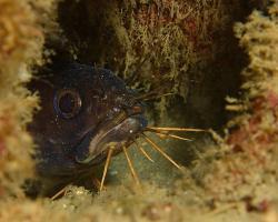 plotos bengálský - Plotosus canius - Gray eel-catfish