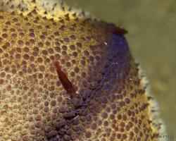 kreveta - Zenopontonia soror - starfish shrimp