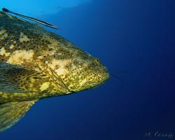 Kanic itajara - Epinephelus itajara - Atlantic goliath grouper