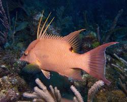 Pyskoun korunkatý - Lachnolaimus maximus - hogfish