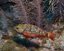 Ploskozubec zelený - Sparisoma viride - Stoplight parrotfish