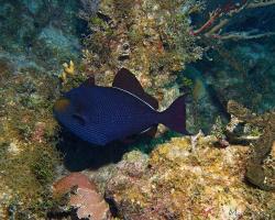 Ostenec bělolemý - Melichthys niger - Black triggerfish