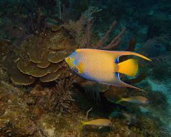 Pomec řasnatý - holocanthus ciliaris - queen angelfish