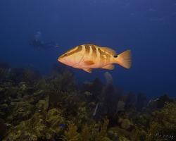 Kanic bělopruhý - Epinephelus striatus - Nassau grouper