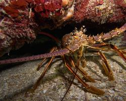 Langusta karibská - Panulirus Argus - Caribbean spiny lobster