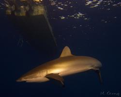 Žralok hedvábný - Carcharhinus falciformis - Silky shark