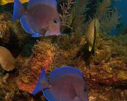 Bodlok modrý - Acanthurus coeruleus - Blue tang surgeonfish