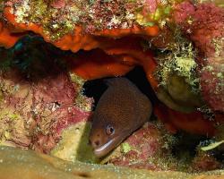 Muréna žlutoocasá - Gymnothorax miliaris - Goldentail moray