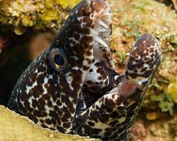 Muréna poskvrněná - Gymnothorax moringa - spotted moray