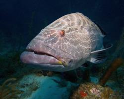 Kanic černý - Mycteroperca bonaci - black grouper