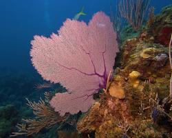 Rohovitka obecná - Gorgonia ventalina - purple sea fan