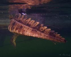 Krokodýl americký - Crocodylus acutus - American crocodile