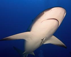 Žralok Perezův - Carcharhinus perezi - Caribbean reef shark