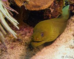 Muréna zelenavá - Gymnothorax funebris - green moray