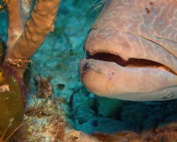 Kreveta - Periclimenes pedersoni - Pederson's shrimp