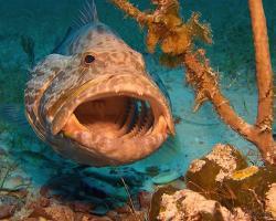 Kanic proměnlivý - Mycteroperca venenosa - Yellowfin grouper